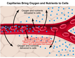Blood_Carries_Oxygen